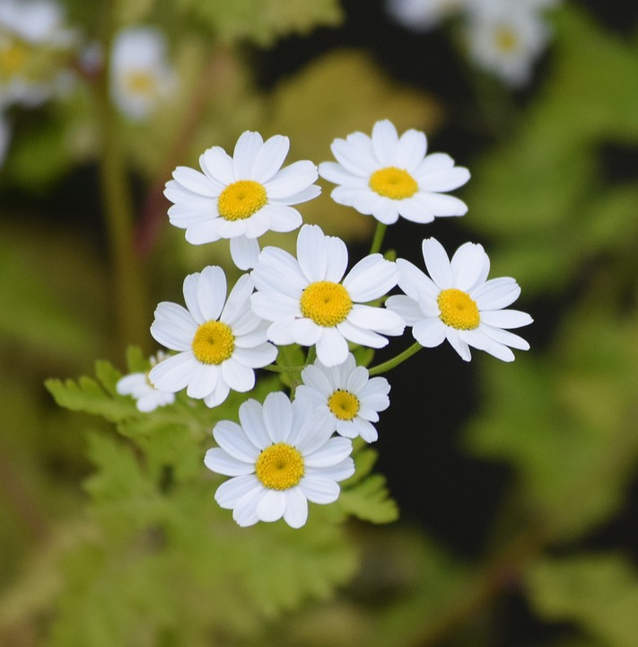 free photo daisies, flower, white, daisy  free image on pixabay, Beautiful flower