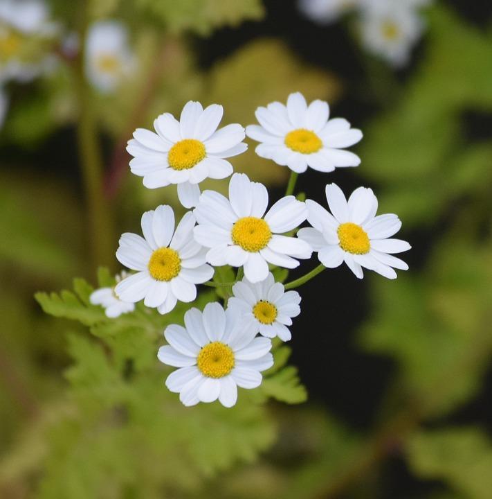 daisies flower white free photo on pixabay