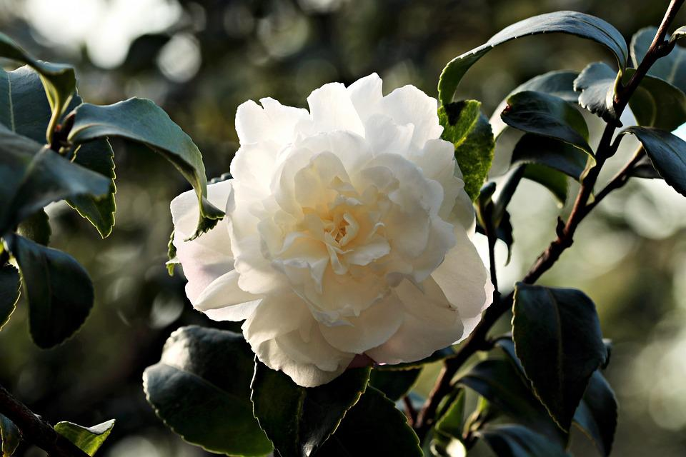Camellia images pixabay download free pictures camellia flower white white flower mightylinksfo