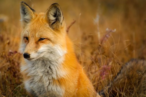 Fox, Animal, Wildlife, Red, Macro
