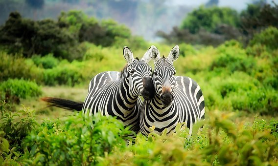 Kenya Africa Zebras Wildlife Animals Cute