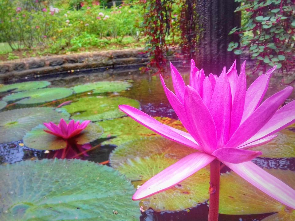 Flower Lotus Aquarium Free Photo On Pixabay