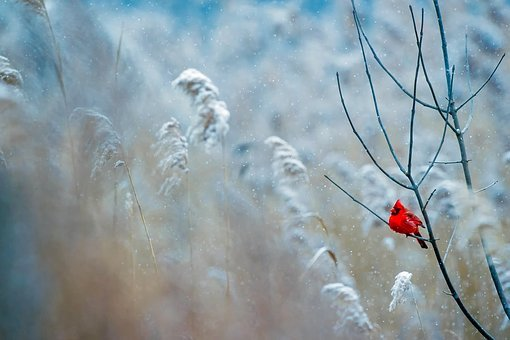 Cardinal, Bird, Wildlife, Snow, Winter