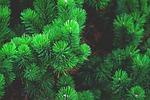 sosna, roślin, drzewo