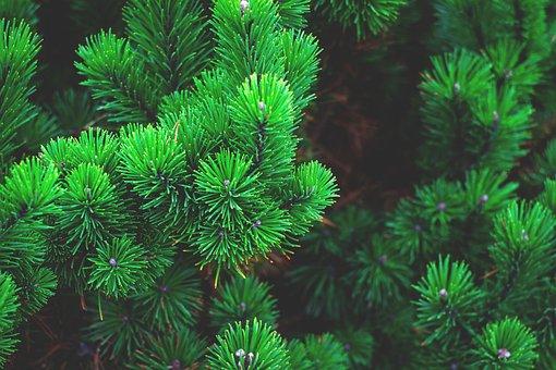 Pine, Plant, Tree, Branch, Conifer