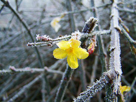 Jasmin, Hiver, Frost, Rime, Nature