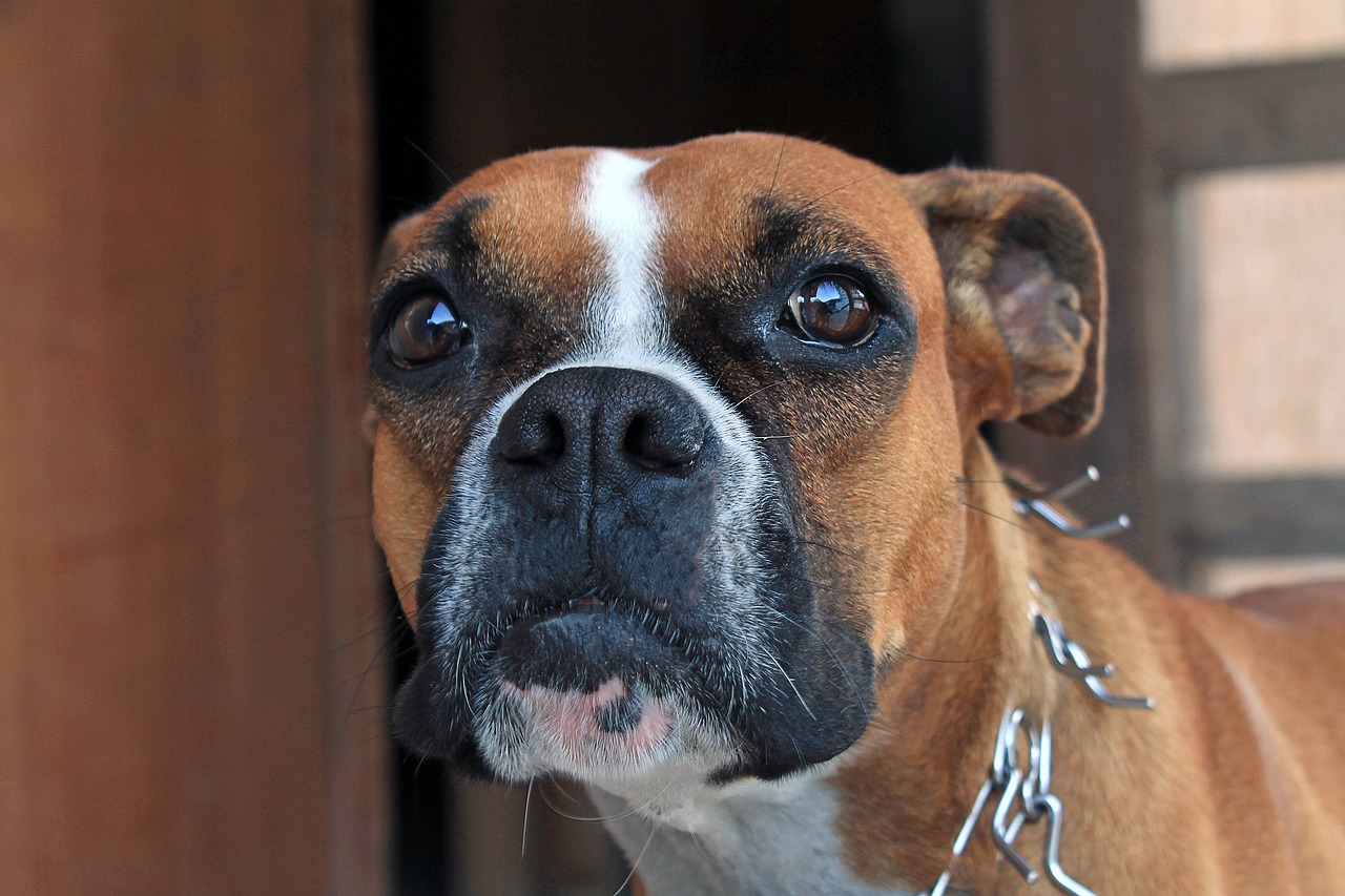 здесь фотки боксера собаки доступны различные фоторамка