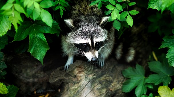 Raccoon, Animal, Wildlife, Forest, Woods