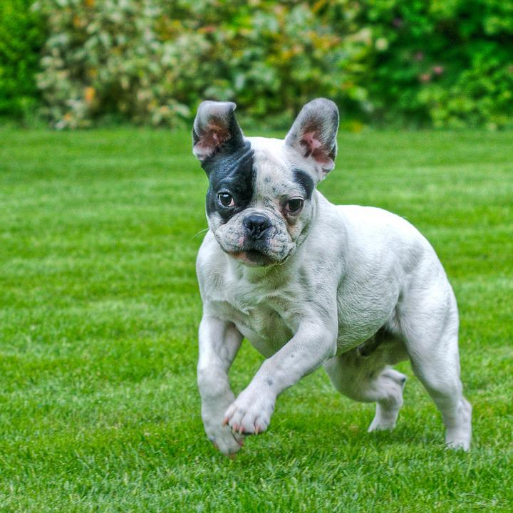 free photo dog french bulldog jump grass free image
