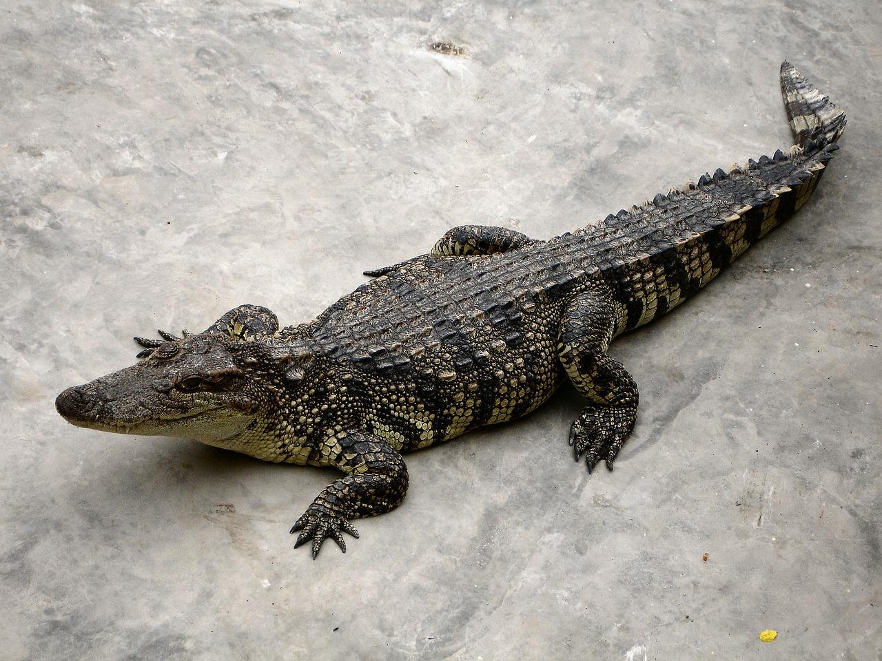 крокодил фото картинки часто встречаются вблизи