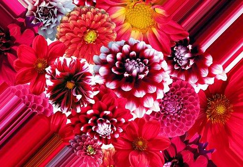 Dahlia Gambar Pixabay Unduh Gambar Gambar Gratis