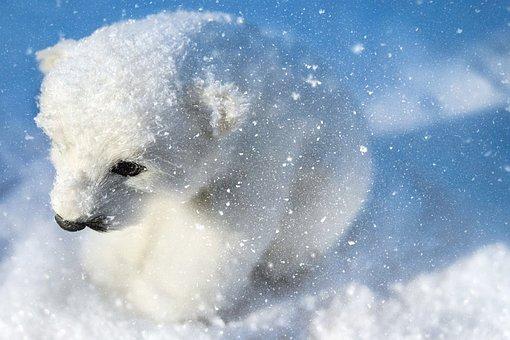 Oso Polar Depredador Animales Blanco Jóven