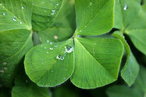 Four Leaf Clover Images Pixabay Download Free Pictures