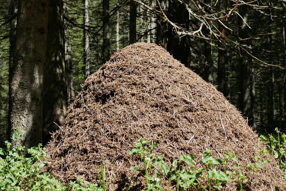 Mravce, Mravenisko, Les, Príroda