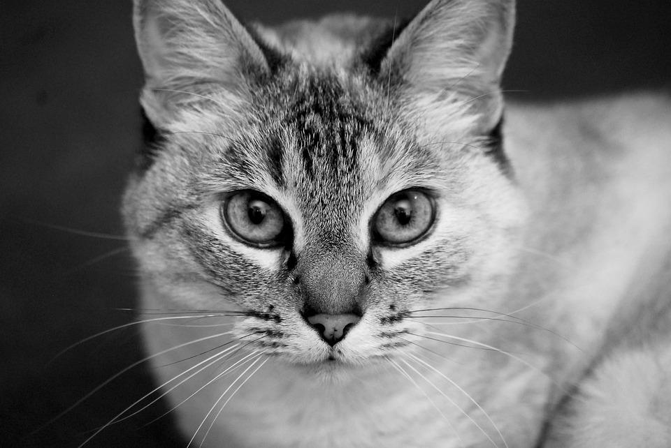 Cat portrait black and white feline eyes pet