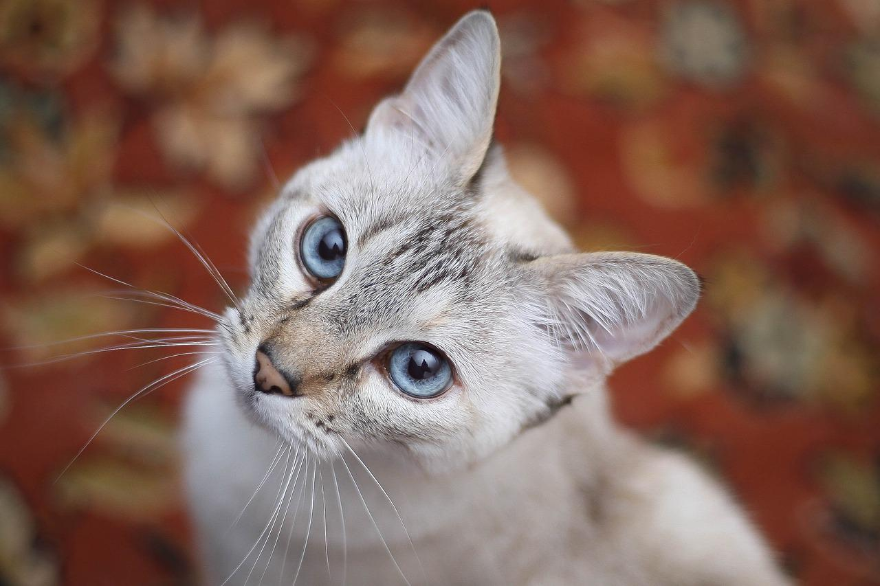 успешно укрепит порода голубоглазых кошек фото фото контакте