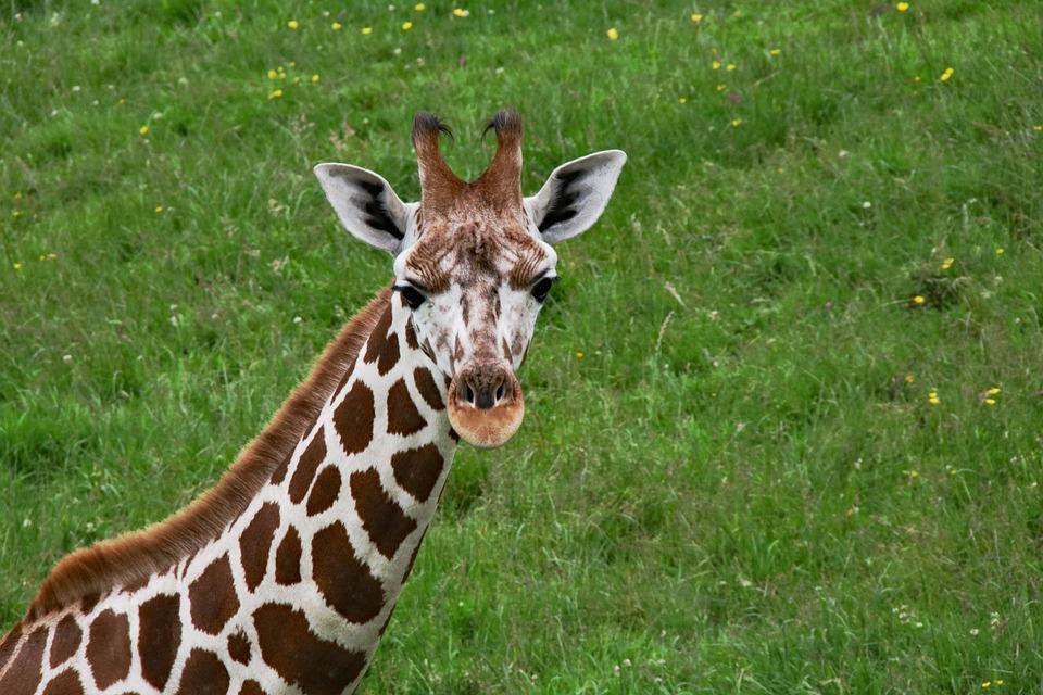 how to buy a baby giraffe