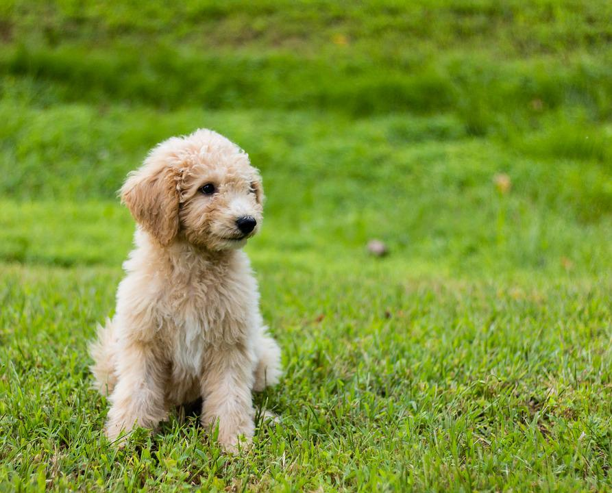 Goldendoodle Puppy Cute Free Photo On Pixabay