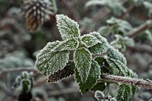 Brennnessel, Frost, Raureif, Eis, Winter