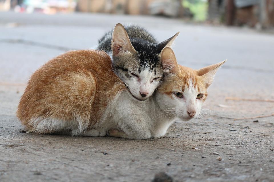 Unduh 94+  Gambar Kucing Couple Paling Lucu