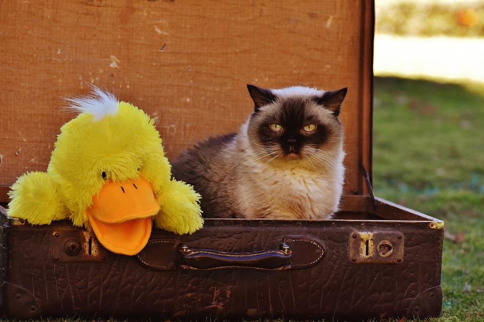 Bagagem, Antiguidade, Gato, Shorthair Britânico, Pato