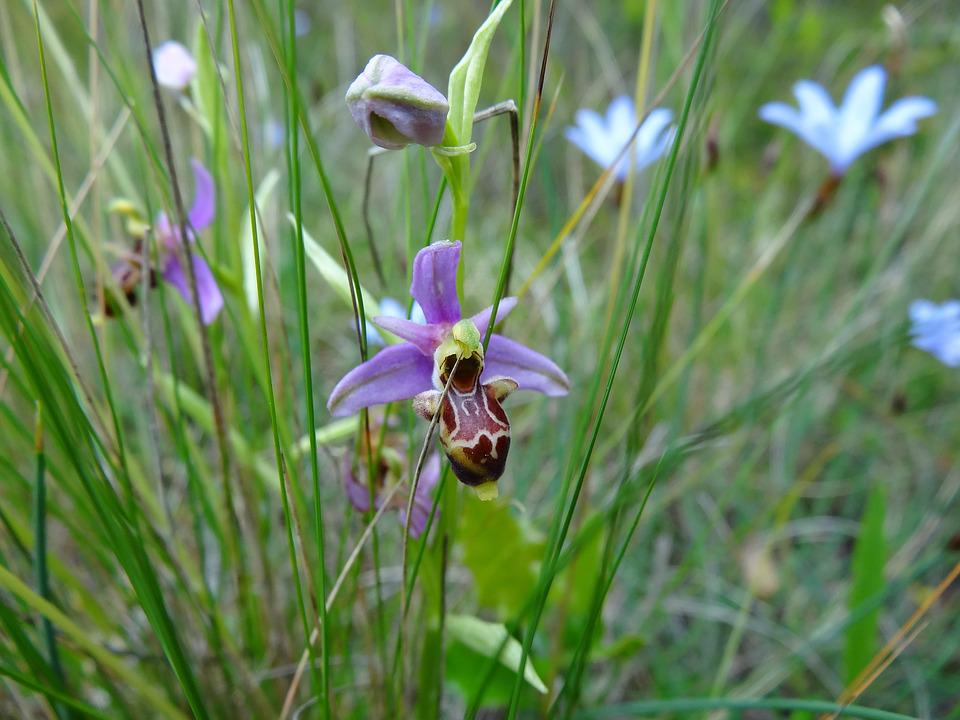 orchidee sauvage garrigue