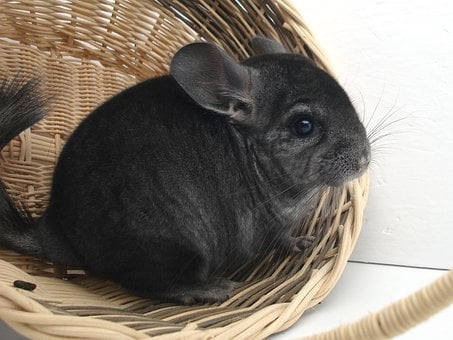 Chinchilla Rodent Pet Fur Animal Nager Nat