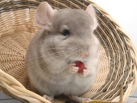 Chinchilla, Rodent, Pet, Fur, Animal