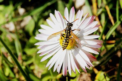 Blüte, Insekt, Wespe, Gänseblümchen