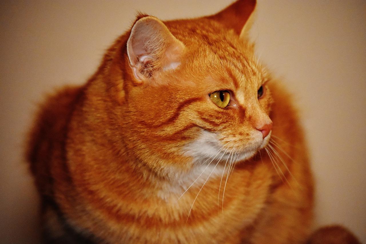Orange mackerel tabby cat