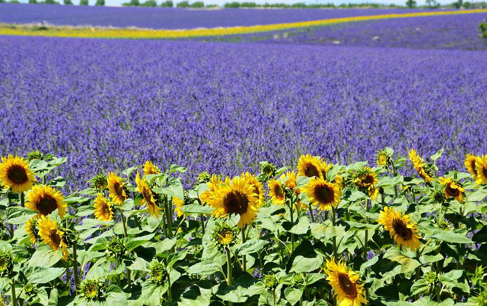 Free Photo Lavender Field Sunflower Free Image On