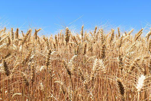 Wheat, Cereal, Agriculture, Harvest