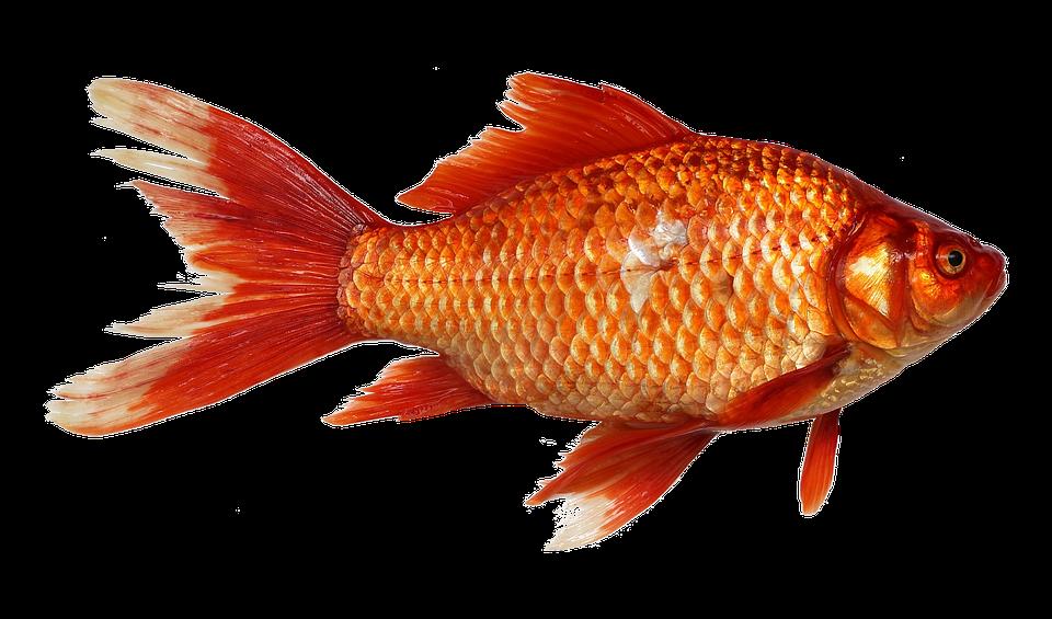 Transparent background fish