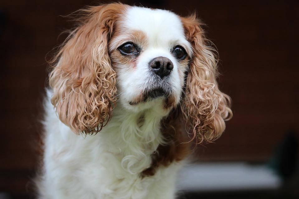 King Charles, Cavalier, Pet, Spaniel, Dog, Canine