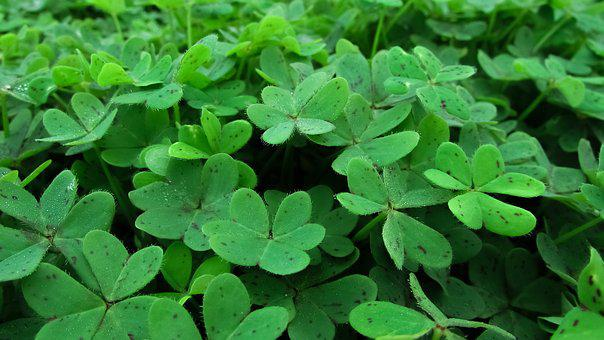 Shamrock free pictures on pixabay shamrock plant leaf clover green nature gr voltagebd Images
