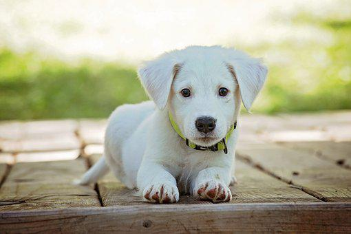 Puppy Dog Pet Animal Cute White Adorable C