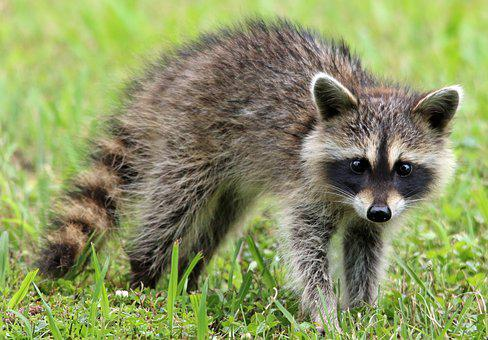 Image result for picture of raccoon