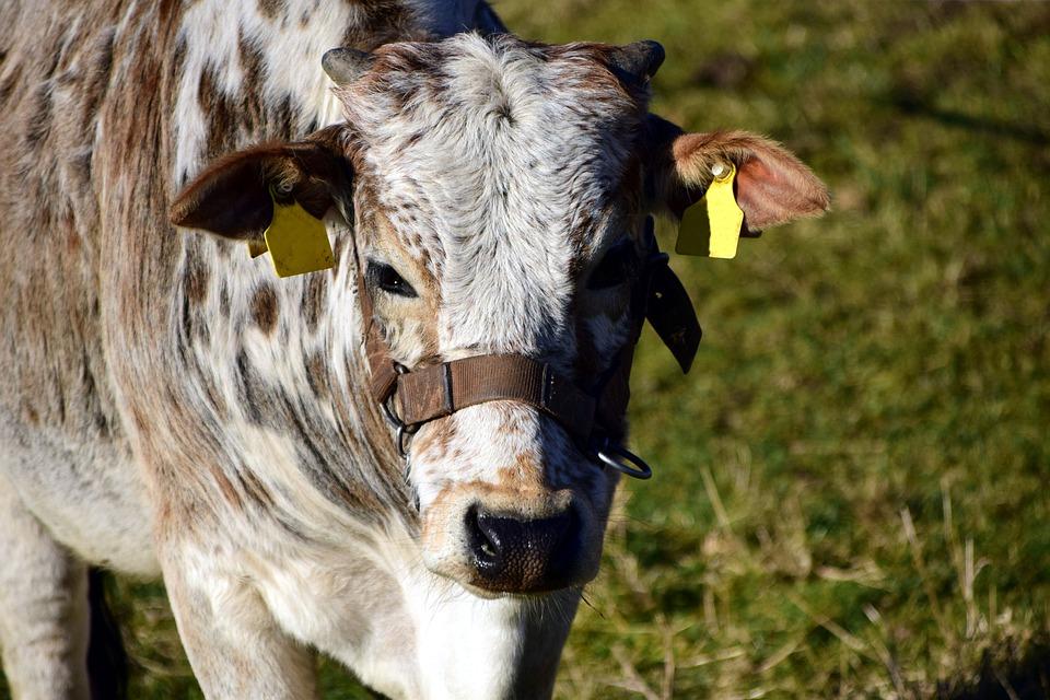 zebu 牛肉 牛 pixabayの無料写真