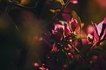 pink, flowers, light