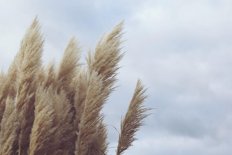 Reed Plant Wind Free Photo On Pixabay