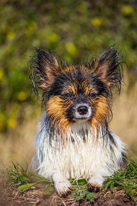 Papillon Kleiner Hund Nass Kostenloses Foto Auf Pixabay