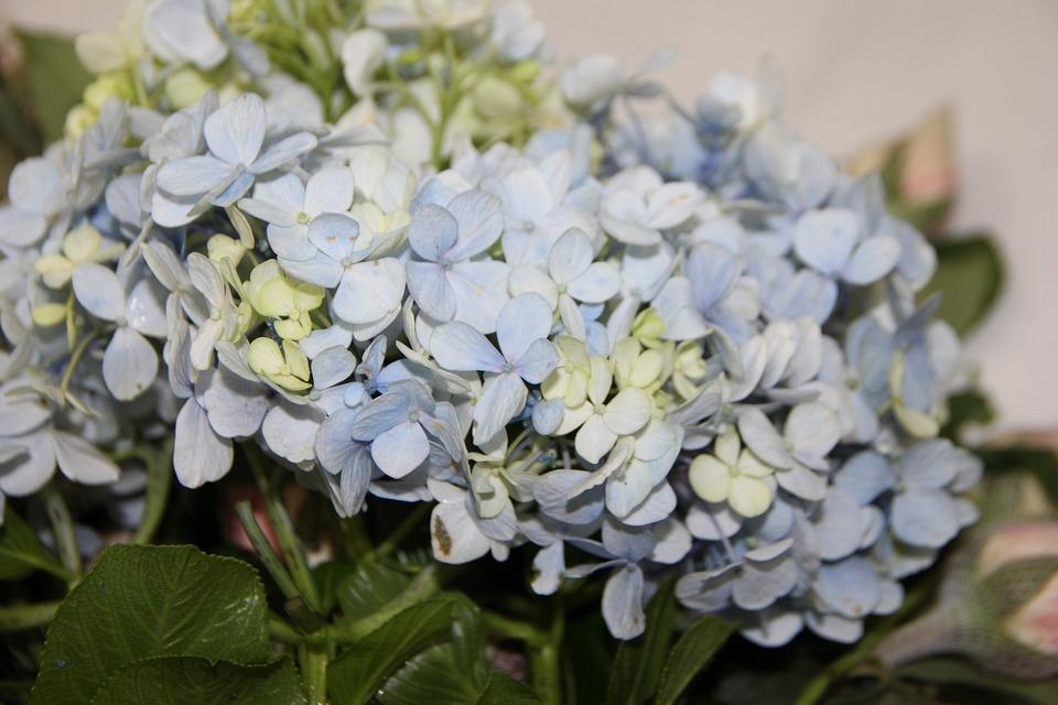 d7dc5a7ed720 Modré Hortenzie Aranžovanie Kvetov - Fotografia zdarma na Pixabay
