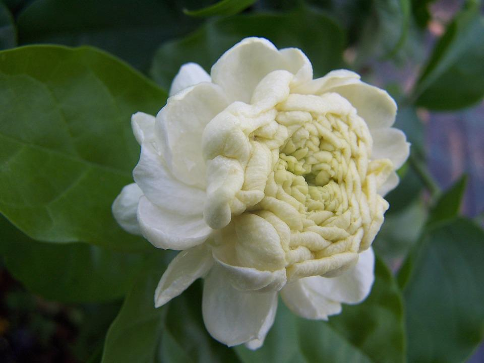 Jasmine, Sambac, Grand Duke Of Tuscany, Perfumed Flower
