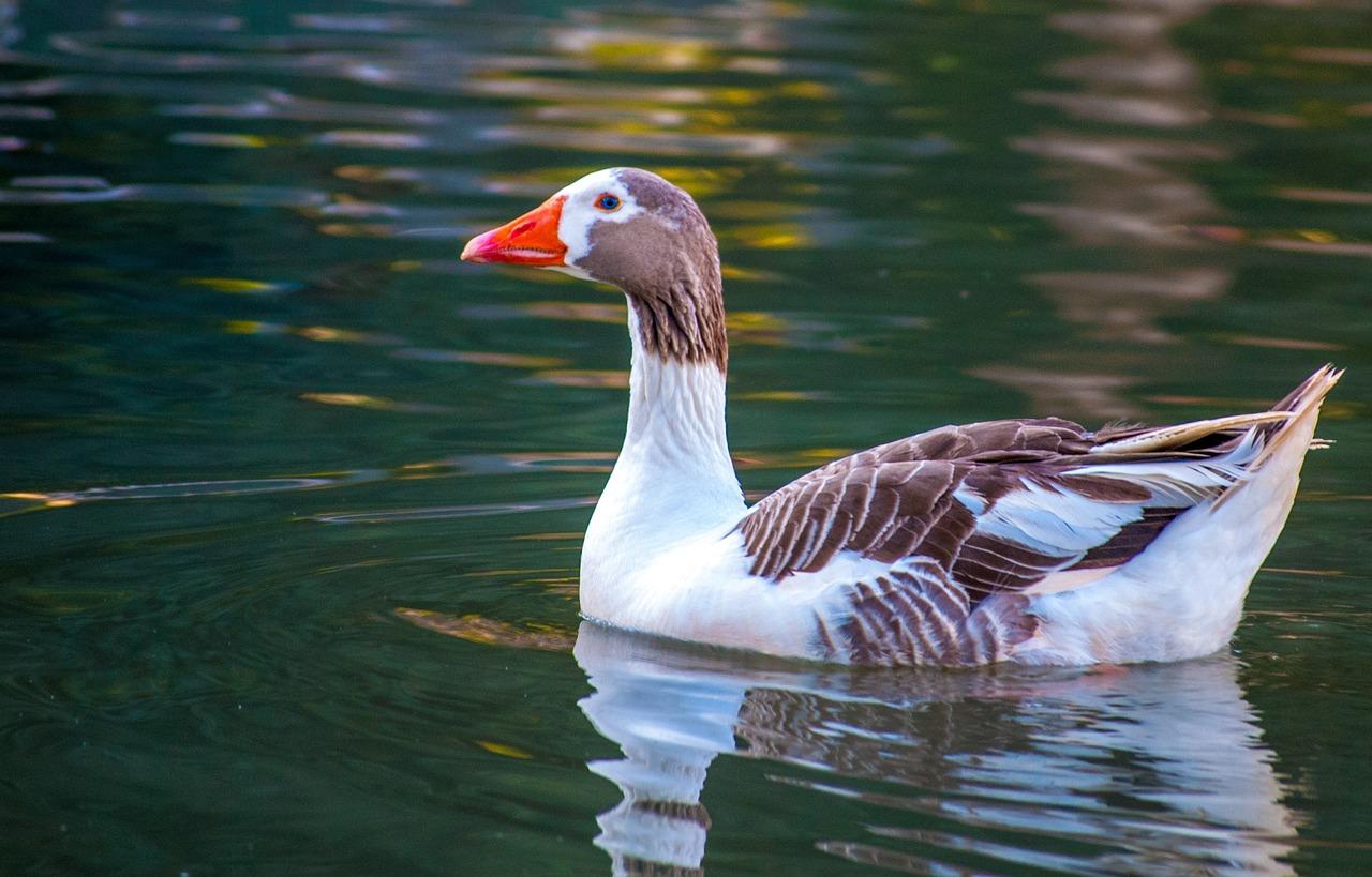 будет фото водоплавающих птиц с названием стал