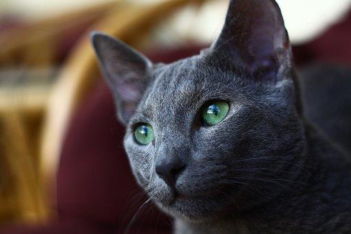 Tìm hiểu về mèo Nga mắt xanh - Giống mèo quốc dân