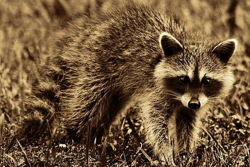 Raccoon, Animal, Mammal, Furry, Cute