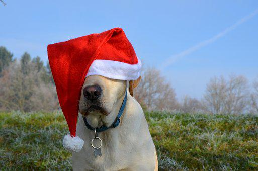 Labrador Retriever, Santa, Christmas