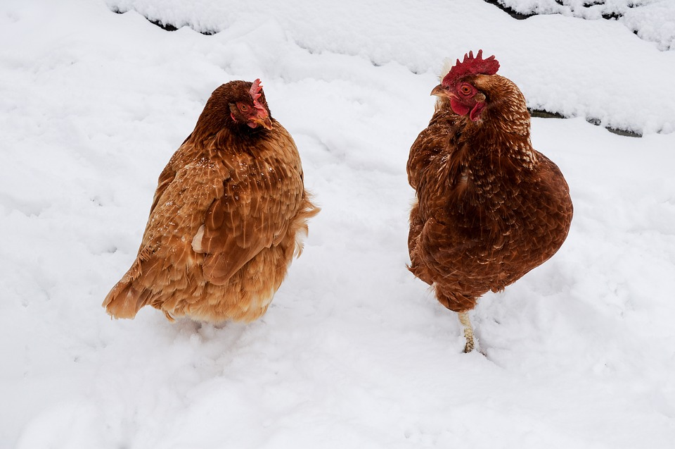 Koleksi 5700  Gambar Animasi Bergerak Ayam  Terbaik