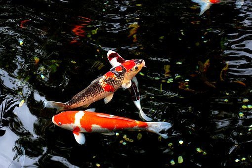 水, 魚, 日本, コイ, 動物, 淡水, 金魚, 水泳, 黄色, オレンジ