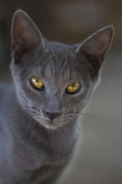 Unduh 93+  Gambar Kucing Abu Abu Paling Baru HD